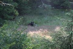 Ucluelet, Vancouver Island, 2006. (Jacques Lebleu) Tags: bear oso vancouverisland ucluelet blackbear urso orso ours