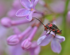 Cardinal on Lilacs (nikkorglass) Tags: macro insect cardinal beetle micro insekt kardinal macri pyrochroidae 105mmf28vr carindal kardinalbagge