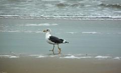 Je marche seul... (Mystycat =^..^=) Tags: bird plage oiseau larusmarinus ocan goland iledolron charentemaritime poitoucharentes ocanatlantique golandmarin