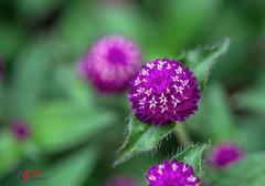 Globe Amaranth (SPP- Photography) Tags: morning flowers como flower nature canon morninglight petals purple blossom blossoms 100mm blooms blooming 6d flowersplants globeamaranth macro100mm marjoriemcneelyconservatory canon6d