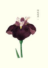 Blood red iris (Japanese Flower and Bird Art) Tags: iris red flower art japan print japanese blood woodblock nihonga sanguinea iridaceae readercollection