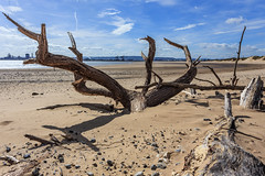 Tree on North Gare beach (Peter Whysall) Tags: beach coast outdoor shoreline bluesky pebbles teesside treestump northgare teesmouth