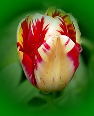 Red Yellow Tulip (Maryjo25) Tags: spring tulip
