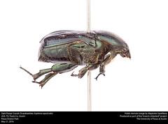 Dark Flower Scarab (Scarabaeidae, Euphoria sepulcralis) (insectsunlocked) Tags: euphoria coleoptera scarabaeidae euphoriasepulcralis darkflowerscarab esepulcralis