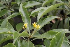 Nongla/ - Pittosporum sp./  0820 (Petr Novk ()) Tags:  china na  guangxi  asia asie  plant rostlina  flower wildlife nature nongla  mashancounty  pittosporum   pittosporaceae
