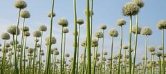 Allium (peeteninge) Tags: flowers white flower nature outdoor natuur bulbs wit allium flowerfields bloemen bollenveld