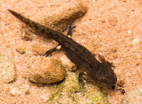 Feuersalamanderlarve (Salamandra salamandra)