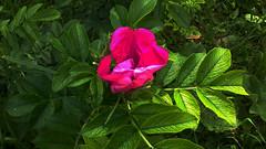 flower4 (jurinkof) Tags: fleurs blten   kvety kvty