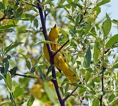Yellow warbler (carpingdiem) Tags: birds spring indianapolis yellowwarbler