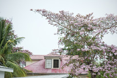 May Flower Tree and Red Roof, Belize City (ScarletBlack) Tags: belize belizecity