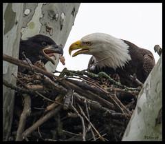 Adult and Baby Eagle Sharing Breakfast at Eagle Bluffs Conservation Area - No 2 (Nikon66) Tags: nikon eagle baldeagle columbia missouri d800 boonecounty mcbaine eaglebluffsconservationarea platinumheartaward 600mmnikkor