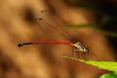 Damselfly (Calicnemia erythromelas, Platycnemididae), female (John Horstman (itchydogimages, SINOBUG)) Tags: china macro topf25 insect topf50 yunnan damselfly tweet fbe odonata platycnemididae tumblr itchydogimages sinobug