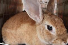 IMG_7631 (Gioser_Chivas) Tags: rabbit bunny animal conejo mascota vertebrado gioserchivas