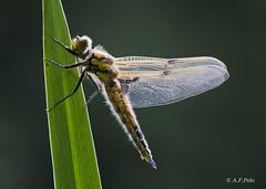 Eclosión de Libellula quadrimaculata.12 (alvarof.polo) Tags: dragonflies macrofotografía libélulas libellulaquadrimaculata metamorfosis odonatos eclosión anisópteros