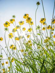 PhoTones Works #7885 (TAKUMA KIMURA) Tags: plant flower nature yellow japan landscape scenery air olympus jp    cosmos   okayama kimura     sulphureus takuma  a01    photones