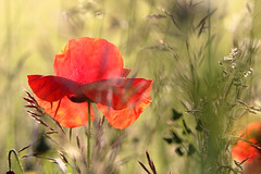 Poppy in the Field ... (Rogg4n) Tags: morning summer flower macro nature fleur colors field grass season golden switzerland spring suisse bokeh country atmosphere hour poppy poppies vegetation softfocus roadside neuchtel coquelicot pavot 2016 valderuz proxi canoneos100d sigma50100mmf18dchsm