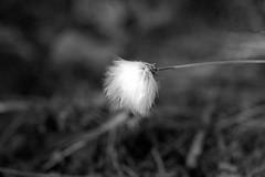 Cotton Grass (jamesdewar99) Tags: plants macro nature sigma105mm
