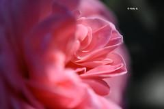 Romance (heikecita) Tags: rose pflanze blume plant makro macro nature natur pink rosa nikon d7200