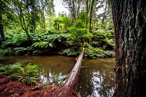 Redwood Forest-35