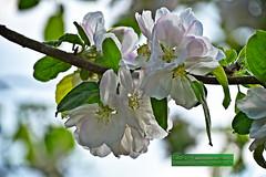 Baumblte im Frhjahr (TiBoFo) Tags: germany pflanzen bume deu frhling laubbaum tibofotinoboczikfoto