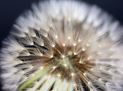 vertrumt (Danyel B. Photography) Tags: plant nature flying close extreme pflanze dandelion dreamy nah makro mcro lwenzahn pusteblume blowball bokex trumerisch