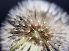 vertrumt (Danyel B. Photography) Tags: plant nature flying close extreme pflanze dandelion dreamy nah makro mcro lwenzahn pusteblume blowball bokex trumerisch