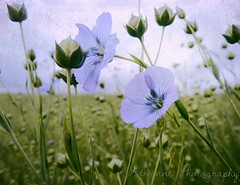 delicate in blue (Adrinne -for a better and peaceful world-) Tags: poem delicate sidebyside textured flax terneuzen zeeuwsvlaanderen vlas onedayflowers addyvanrooij fieldsoflove adrinne evelynflint panasonicfz150 bluebyme