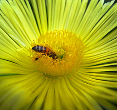 BeeHave =) (Robyn Hooz) Tags: yellow petals bee giallo ape nectar pollen lust temptation fiore petali polline nettare