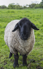 Suffolk Sheep (Margaret S.S) Tags: animal suffolk sheep aries ovis