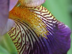 again (mimbrava) Tags: iris mimbrava arr heirloom allrightsreserved beardediris sooc mimbravastudio irisgermanicaalcazar mimeisenberg