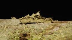I am a caterpillar! (John Horstman (itchydogimages, SINOBUG)) Tags: china macro insect moth lepidoptera caterpillar camouflage lichen yunnan larva crypsis itchydogimages sinobug