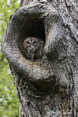Take Out (Alfred J. Lockwood Photography) Tags: morning bird nature spring texas nest feeding wildlife owl barredowl colleyvillenaturecenter alfredjlockwood