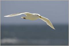 glaucous gull (Christian Hunold) Tags: bird alaska gull nome glaucousgull sewardpeninsula eismve