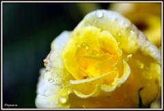 _JVA6675 (mrjean.eu) Tags: park pink flowers blue roses white france flower colour macro nature fleur rose yellow fleurs nikon jardin botanic lorraine botanique parc couleur metz gardin communal 105mmf28