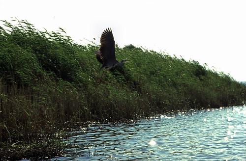 """Ägypten 1999 (090) Assuan: Graureiher am Nil • <a style=""""font-size:0.8em;"""" href=""""http://www.flickr.com/photos/69570948@N04/27266602185/"""" target=""""_blank"""">View on Flickr</a>"""