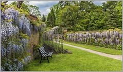Calke Abbey Wisteria 2 (Darwinsgift) Tags: abbey gardens zeiss 35mm garden nikon derbyshire national carl trust f2 wisteria distagon calke d810