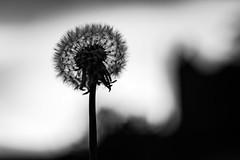 Dandelion seeds at Craigmiller Castle (Philip Gillespie) Tags: dandelion craigmiller castle plant flower seeds nature black white mono monochrome garden park outside sky clouds monument simple bleak