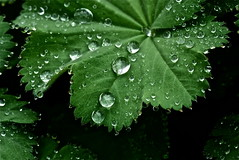 garden gems (heatherybee) Tags: togetherness droplets raindrops waterdrops saturdaytheme theflickrounge