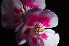 Flower   (nak.viognier) Tags: flower   leicadgmacroelmarit45mmf28 olympusepl1