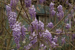 wisteria takeover (Glenna Barlow) Tags: flowers abandoned sc nature overgrown rural vines flora purple southcarolina wisteria