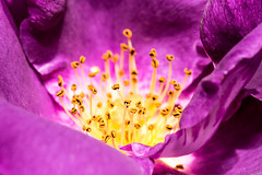 Inside the Rose (John Fenner) Tags: flower macro up rose petals nikon close purple sigma stamen d750 f28 105mm