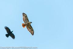 RedTailHawk battle 7_DSC5605.jpg (orig_lowolf) Tags: usa home oregon nikon flickr flight crow attacking redtailedhawk lakeoswego d300s sigma150500mmf563afapodgoshsmtelephotozoom