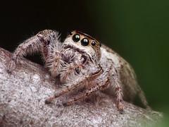 Is This Eris? (#3 - Face) (Doundounba) Tags: macro topf25 spider montral pentax qubec araigne k3 salticidae dcr250 raynox lebizard salticide saltique erismilitaris parcnatureduboisdellebizard pentaxdfa100mmf28macro 35ormorefaves