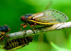 Invasion! (R.A. Killmer) Tags: life ohio wild nature forest bug cicada insect fly wings branch wildlife creepy cycle crawl swarm millions hum brood redeyes 17year
