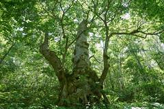 Shinano Tree (peaceful-jp-scenery) Tags: japaneselime shigakogen treen green      sony 99 a99 slta99v amount sal2470z variosonnart2470mmf28za carlzeiss