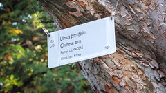 Chinese Elm (Theen ...) Tags: 1929 433 adelaide bark bokeh branch chinese chineseelm cord g13 green hung japan korea lumix metal plants sign stainlesssteel texture theen tree ulmaceae waitearboretum yellow