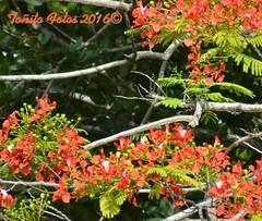 #flamboyan Nuestra flora #boricua (aalvarezhatillo) Tags: boricua flamboyan hatillo