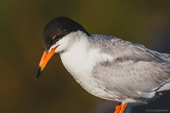 Thoughts of breakfast (Jeff Bray) Tags: california county orange beach nature chica wildlife huntington wetlands bolsa tern forsters jmbwildlife