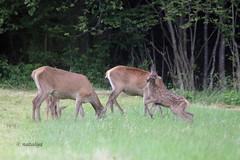 Jelenjad (natalija2006) Tags: red nature wildlife deer slovenia tele calf hind cervus elaphus narava kouta jelenjad divjad