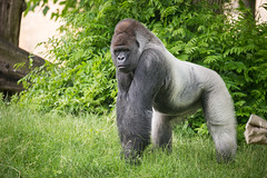 2016-06-16-11h11m21.BL7R9767 (A.J. Haverkamp) Tags: canonef100400mmf4556lisiiusmlens rotterdam zoo dierentuin blijdorp diergaardeblijdorp httpwwwdiergaardeblijdorpnl gorilla westelijkelaaglandgorilla bokito dob14031996 pobberlingermany